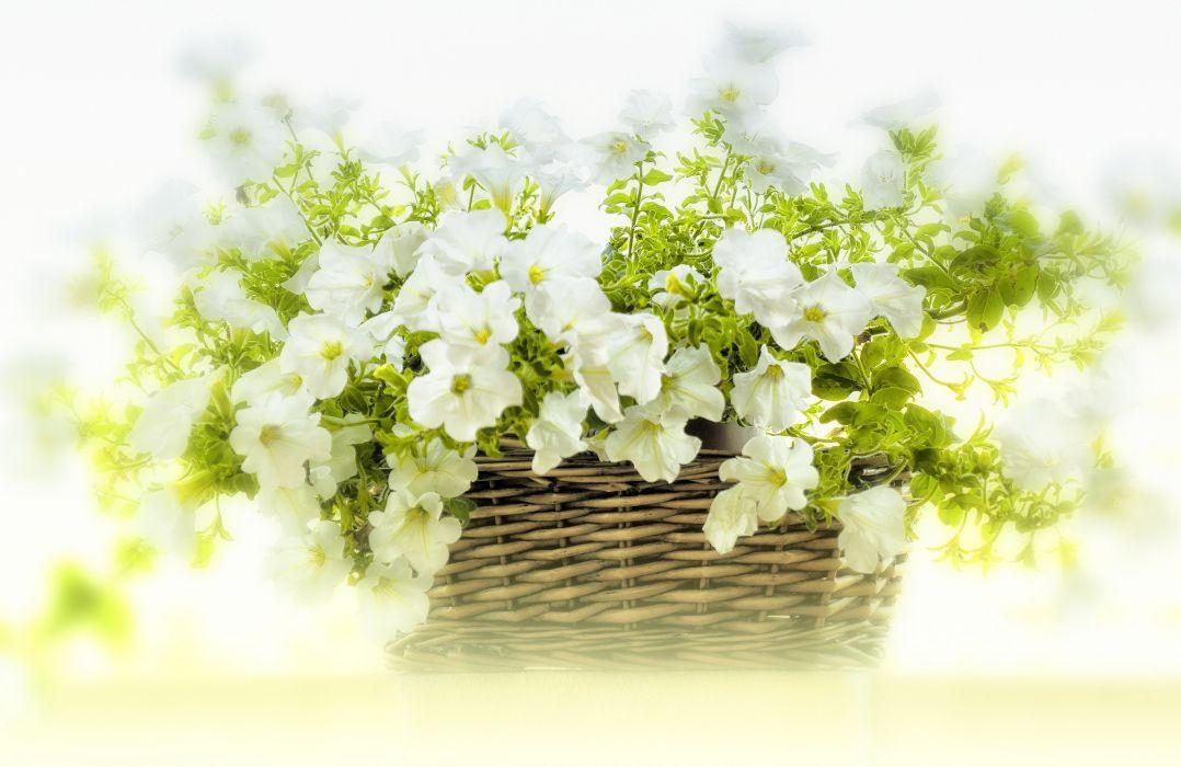 white petunias flowers basket wallpaper
