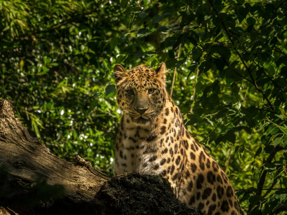 Amur leopard wallpaper