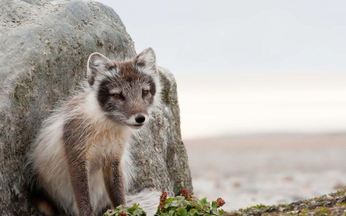 Arctic fox stone wallpaper