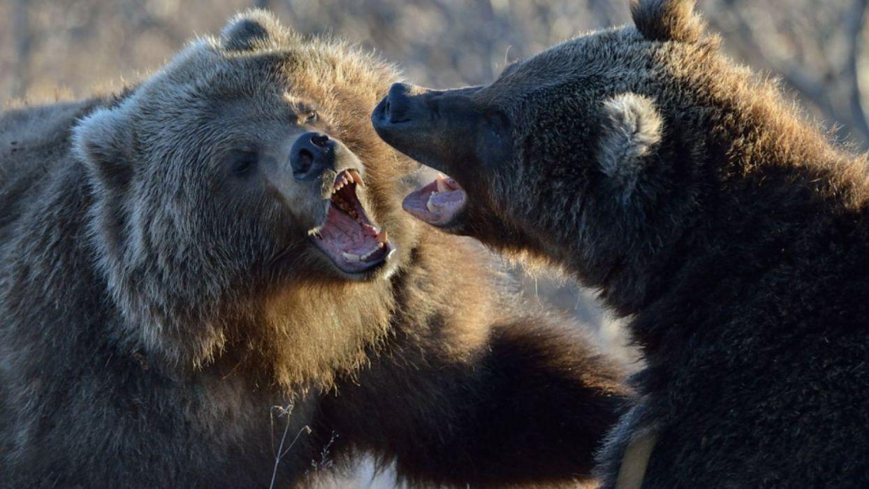 bear battle predator    y wallpaper