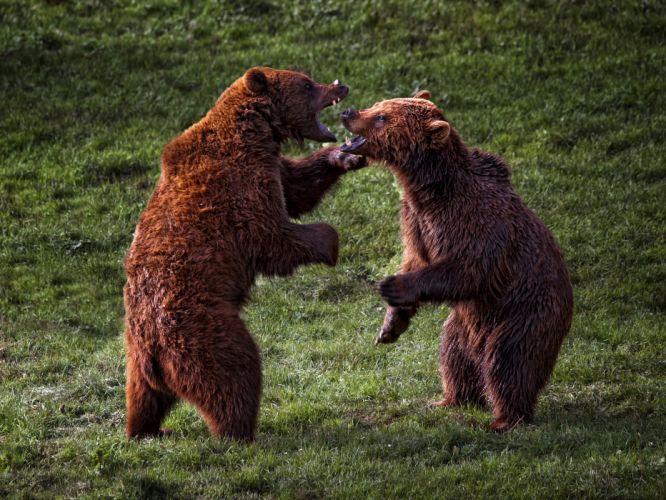 bear battle predator g wallpaper