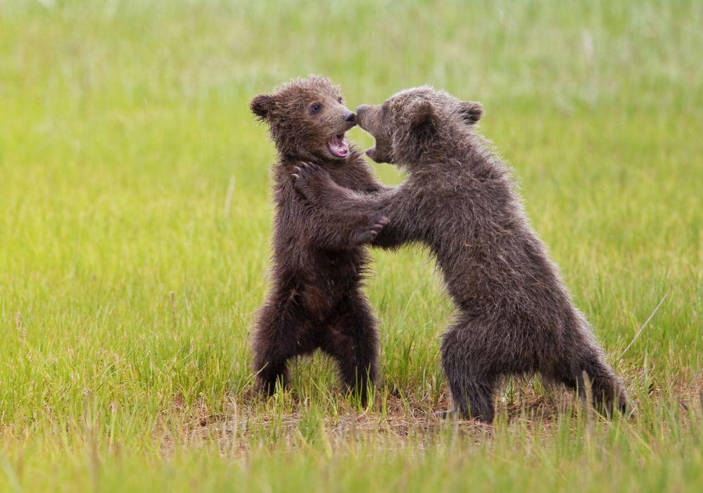 bear battle predator cub baby       h wallpaper