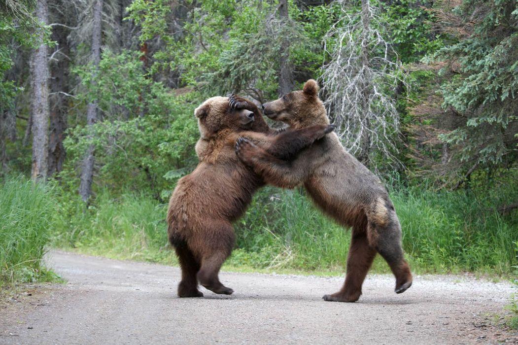bear battle predator forest       d wallpaper