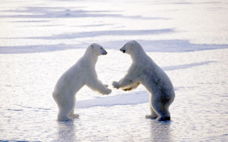 bear battle predator polar h wallpaper
