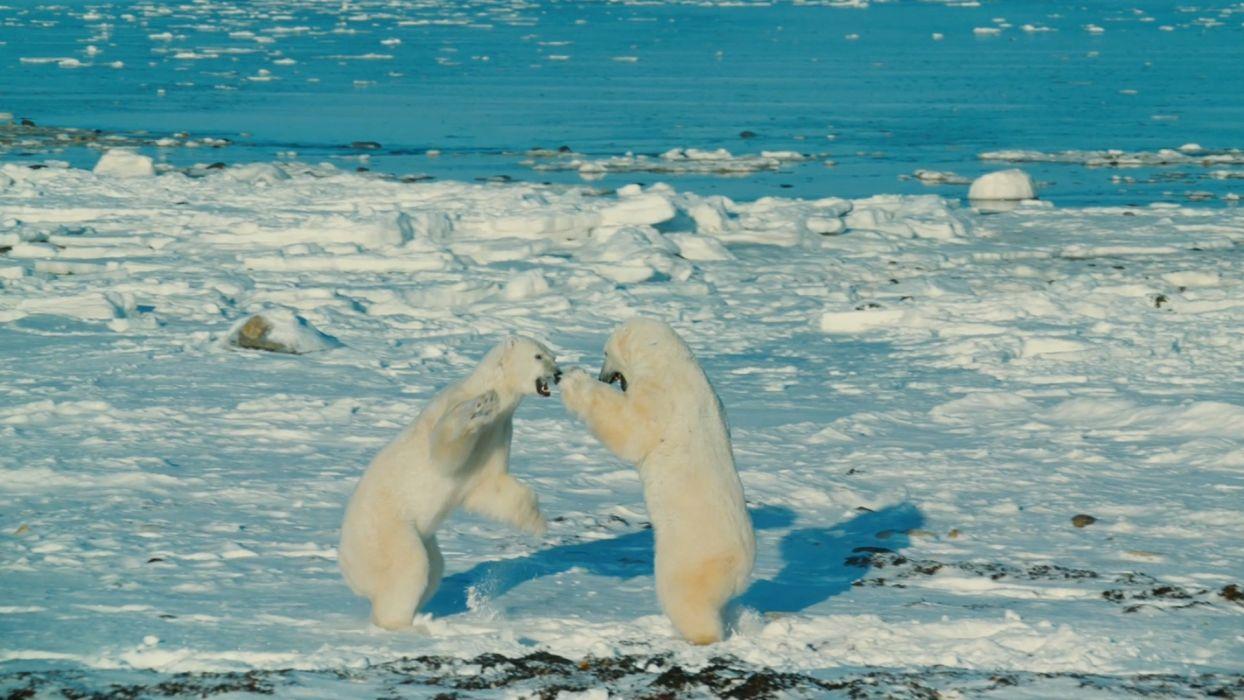bear battle predator polar    g wallpaper