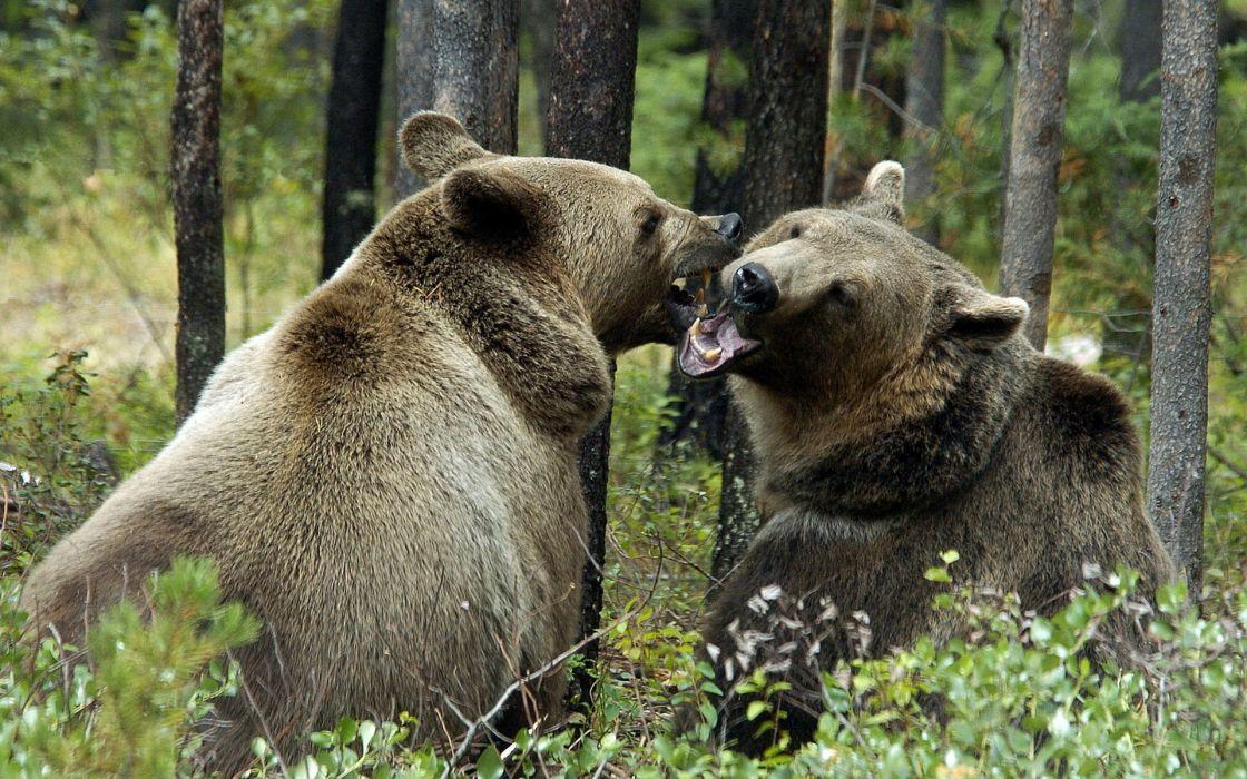 bear battle predator forest    t wallpaper