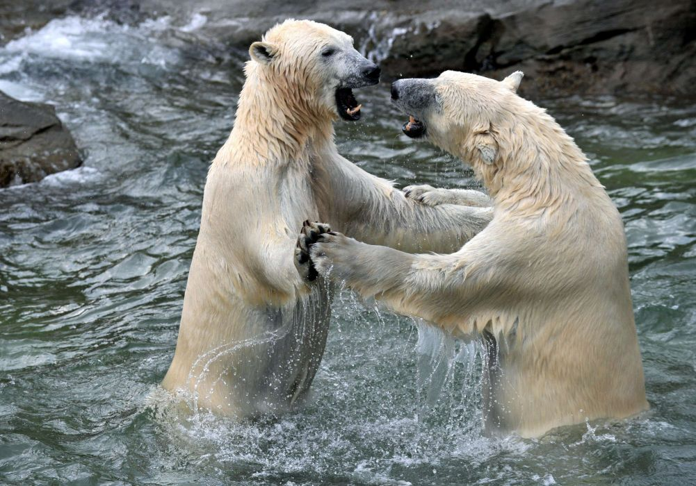 bear battle predator polar    j wallpaper