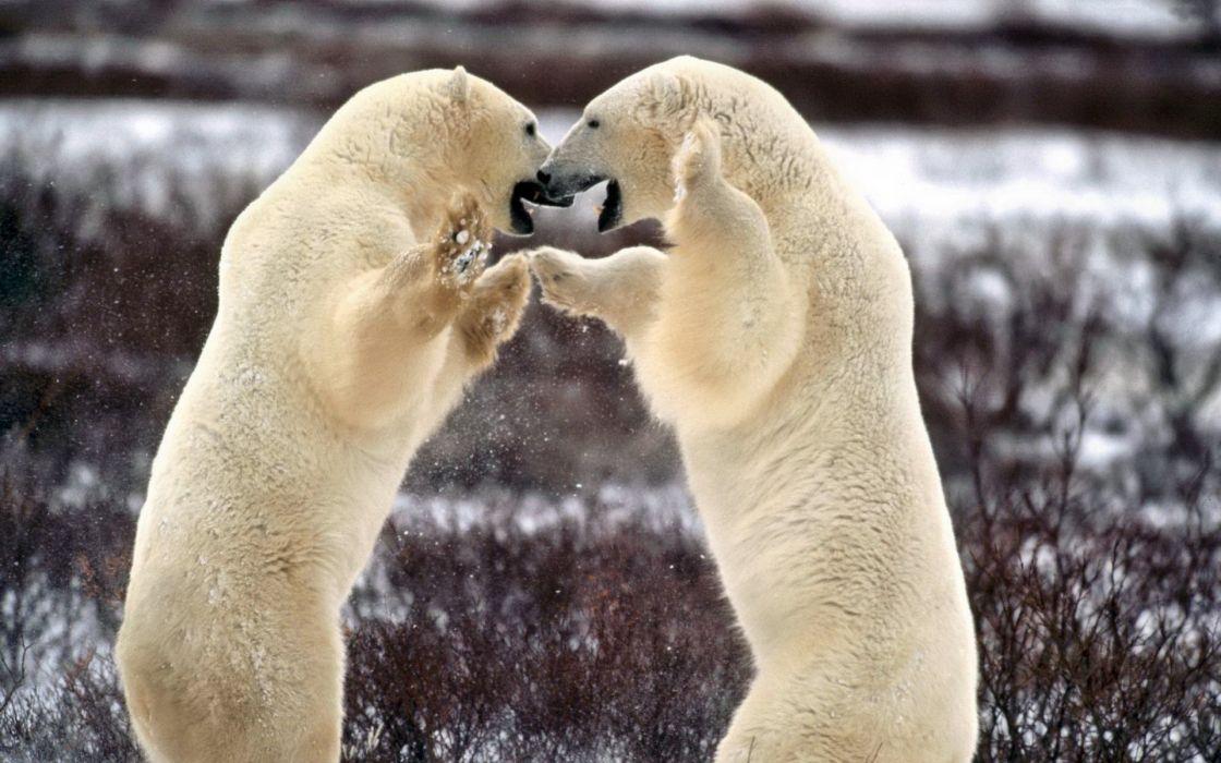 bear battle predator polar   k wallpaper