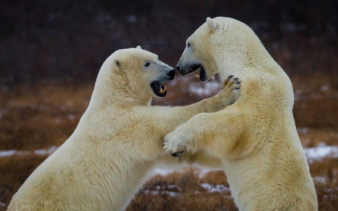 bear battle predator polar p wallpaper