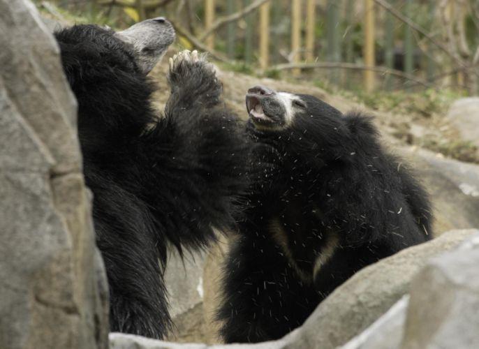bear battle predator sloth j wallpaper