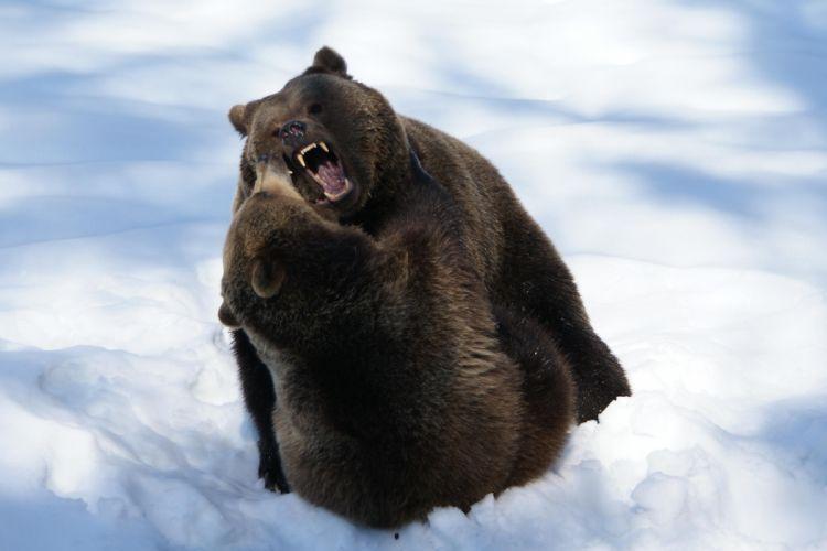 bear battle predator winter g wallpaper