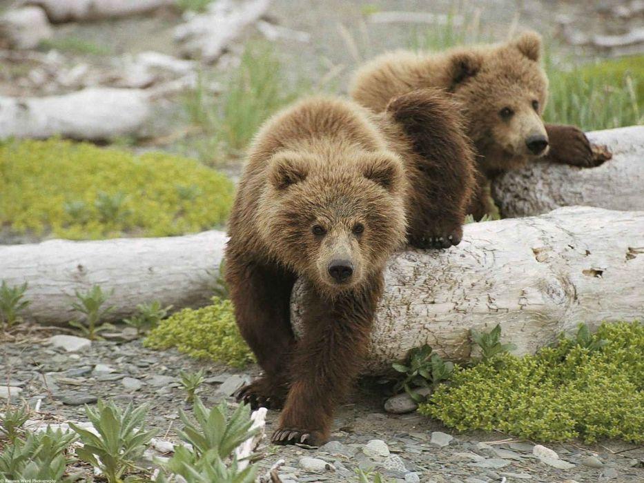 bear cubs grass baby      h wallpaper