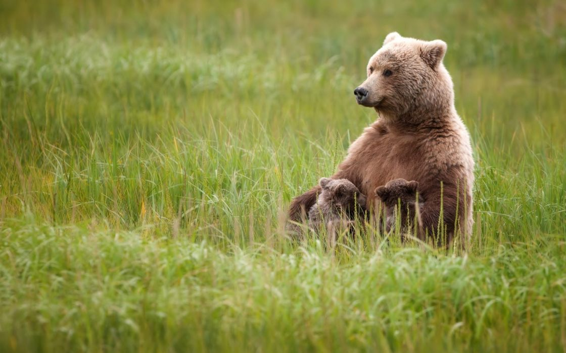 bear cubs grass baby wallpaper
