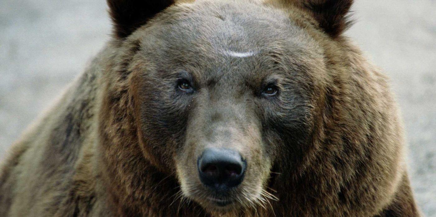 bear predator          j wallpaper