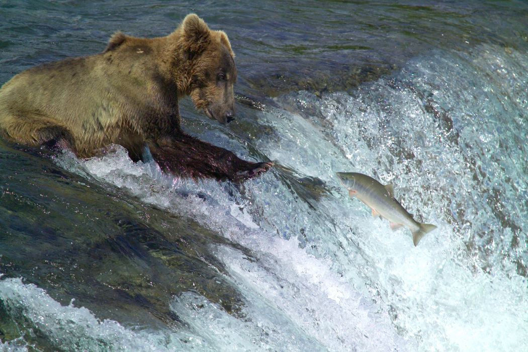 bear river salmon fish       g wallpaper