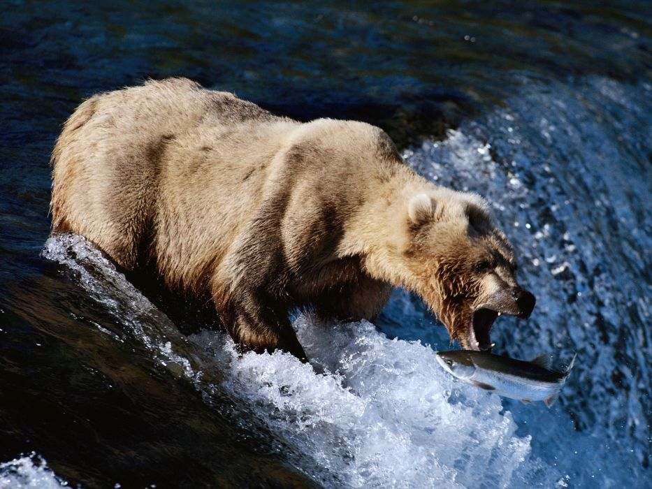bear river salmon fish   i wallpaper