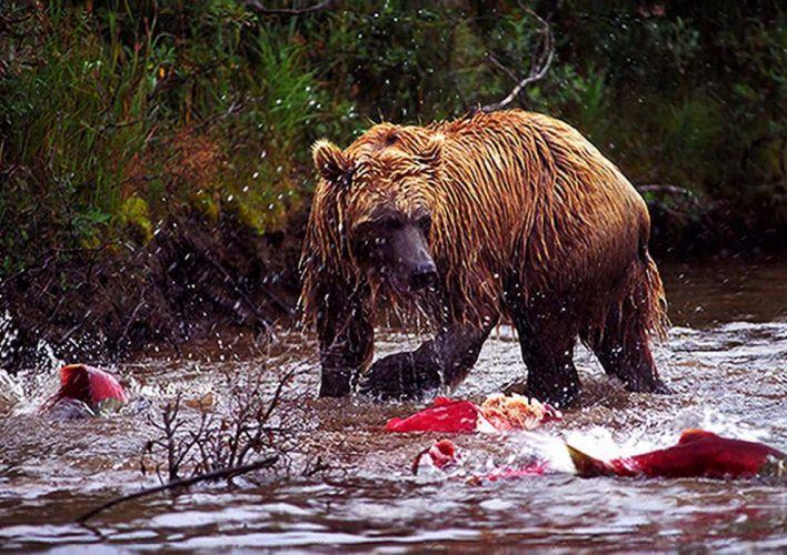 bear river salmon fish f wallpaper