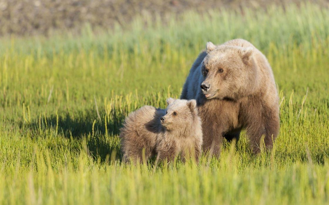 Bears Brown Two Grass Animals bear cub baby wallpaper