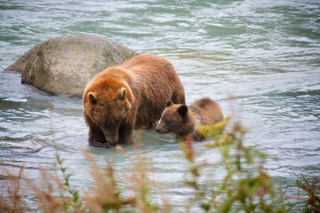 bear river salmon fish cub baby g wallpaper