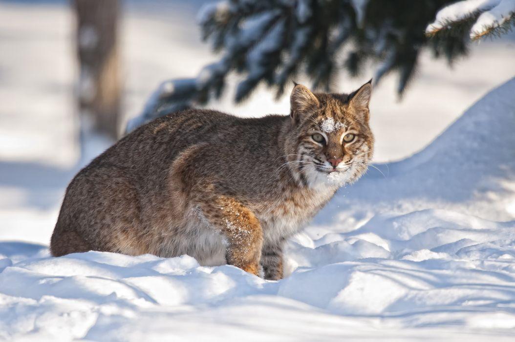 Big cats Lynx Snow Animals wallpaper