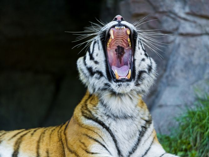 Big cats Tiger f wallpaper