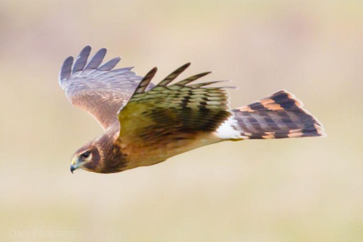 bird eagle flight hawk wallpaper