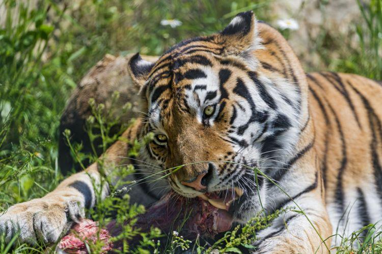Big cats Tiger wallpaper