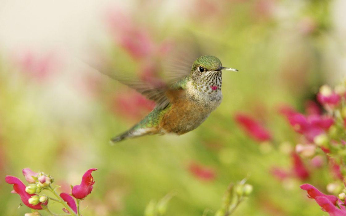 Birds Colibri Flight Animals hummingbird wallpaper