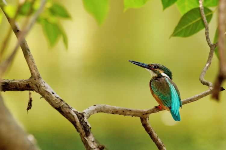 branch tree bird kingfisher leaves wallpaper