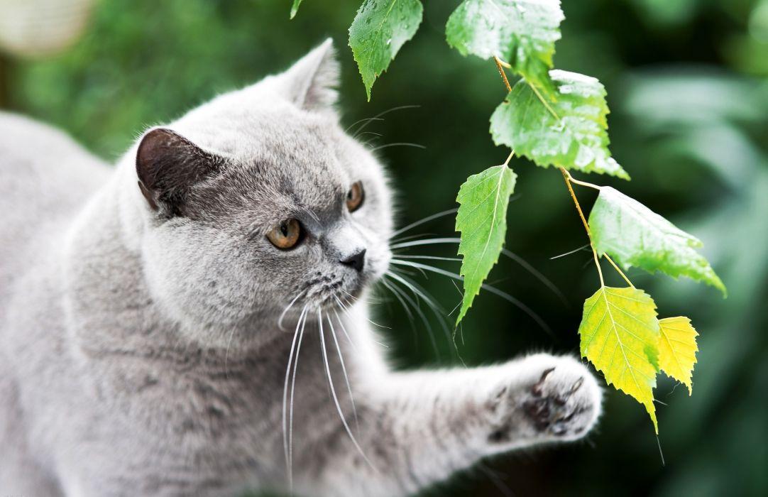 British cat gray wallpaper