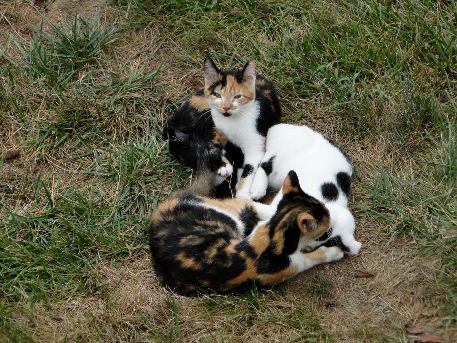 cat feline cats    r_JPG wallpaper