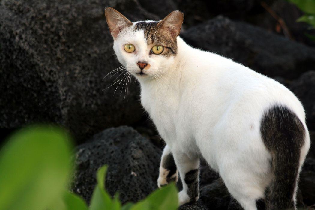 cat feline cats    f_JPG wallpaper