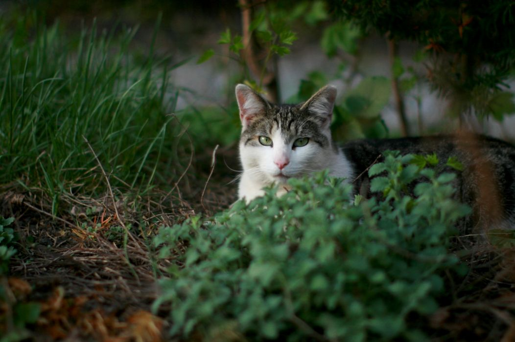 cat feline cats   rr wallpaper