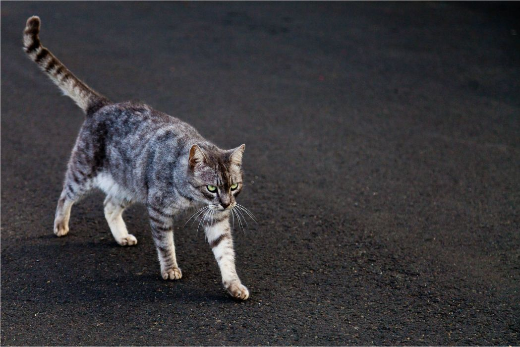 cat feline cats   u wallpaper