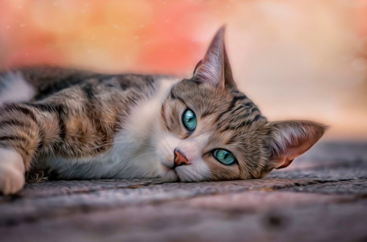 cat pose blue eyes wallpaper