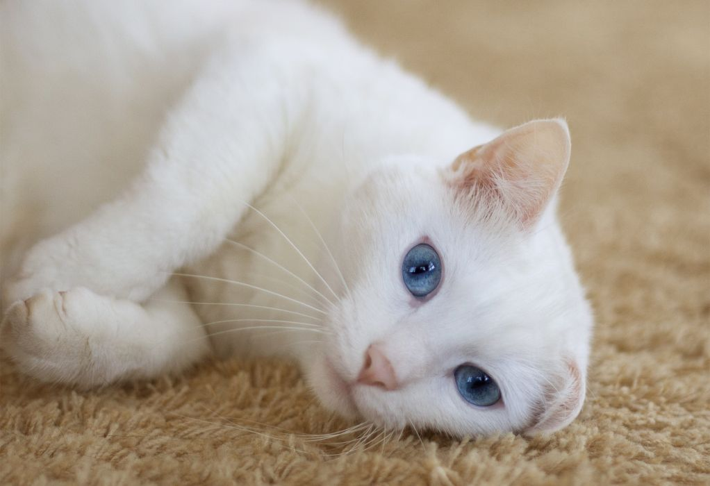 Cats Glance White Animals wallpaper