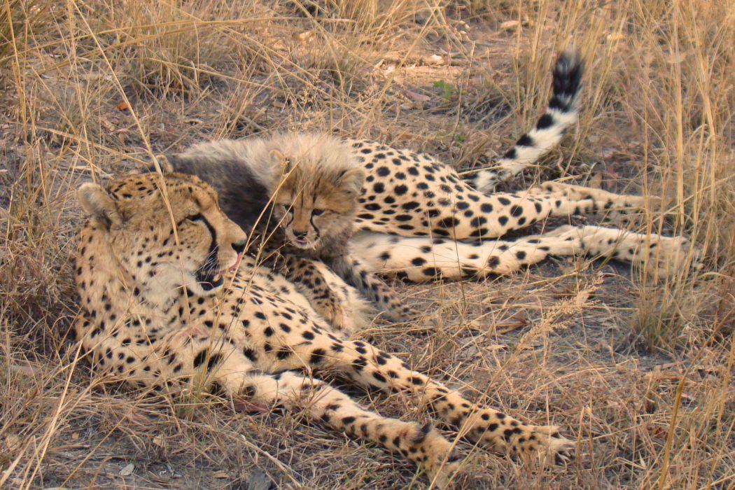cheetah cub rests baby wallpaper