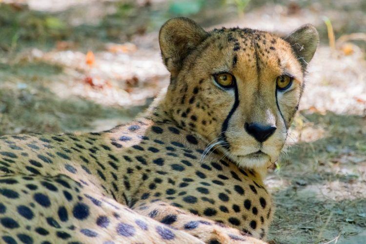 cheetah wild cat muzzle vacation wallpaper