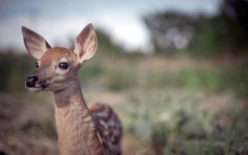 deer cub baby wallpaper