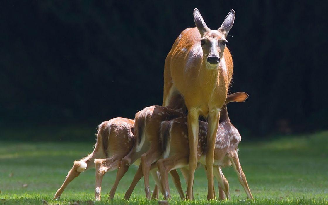 deer calves baby wallpaper