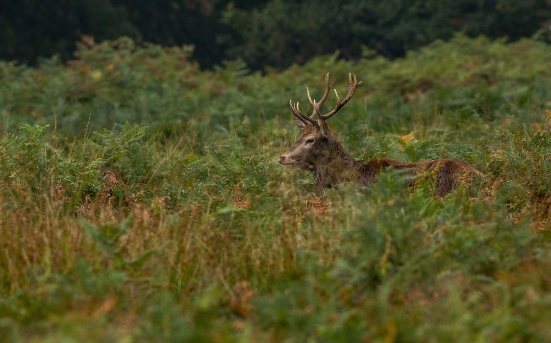 deer head profile horns thickets wallpaper