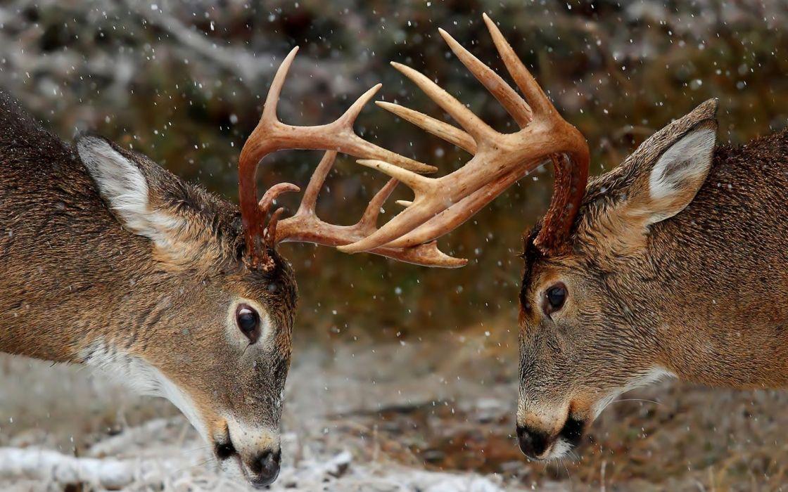 deer horns fight rivalry wallpaper