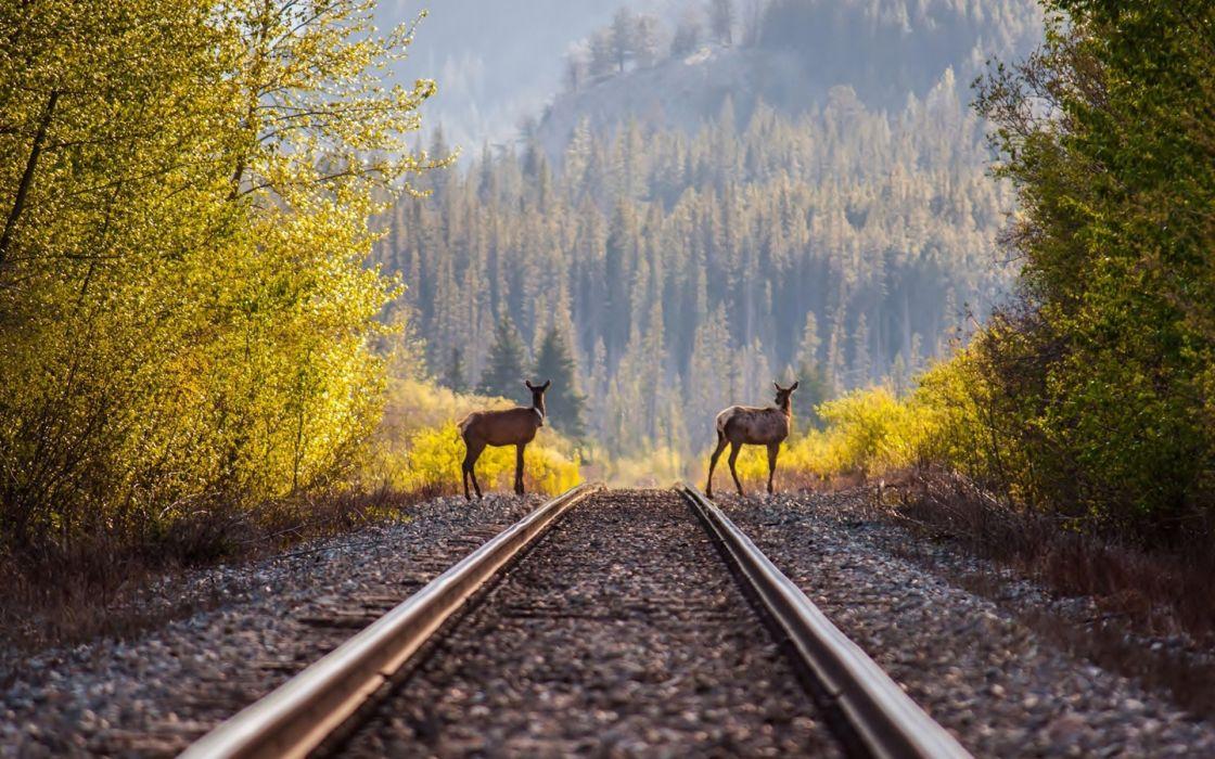 deer timber railroad rails train     h wallpaper
