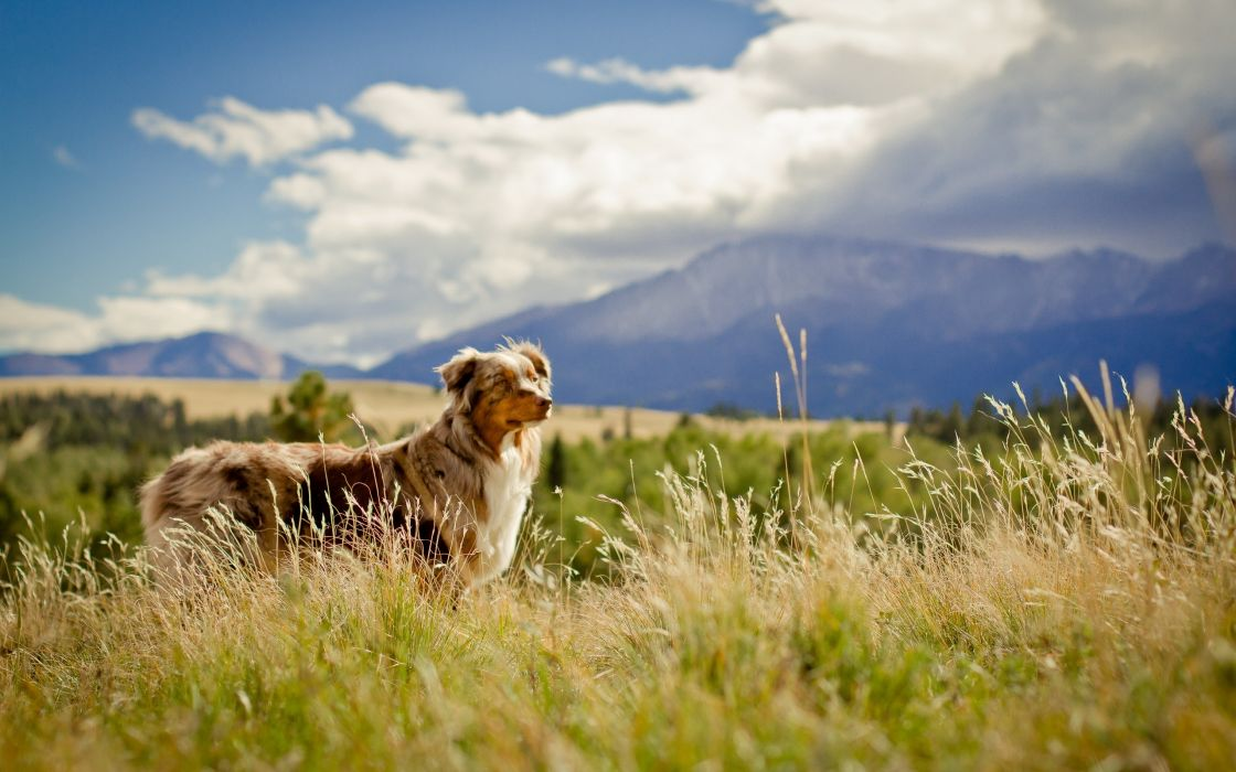 Dogs Australian Shepherd Grass Animals wallpaper