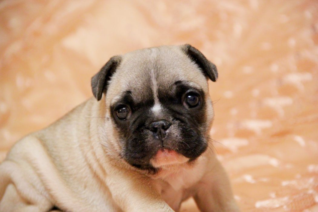 Dogs Pug Puppy Glance Animals wallpaper