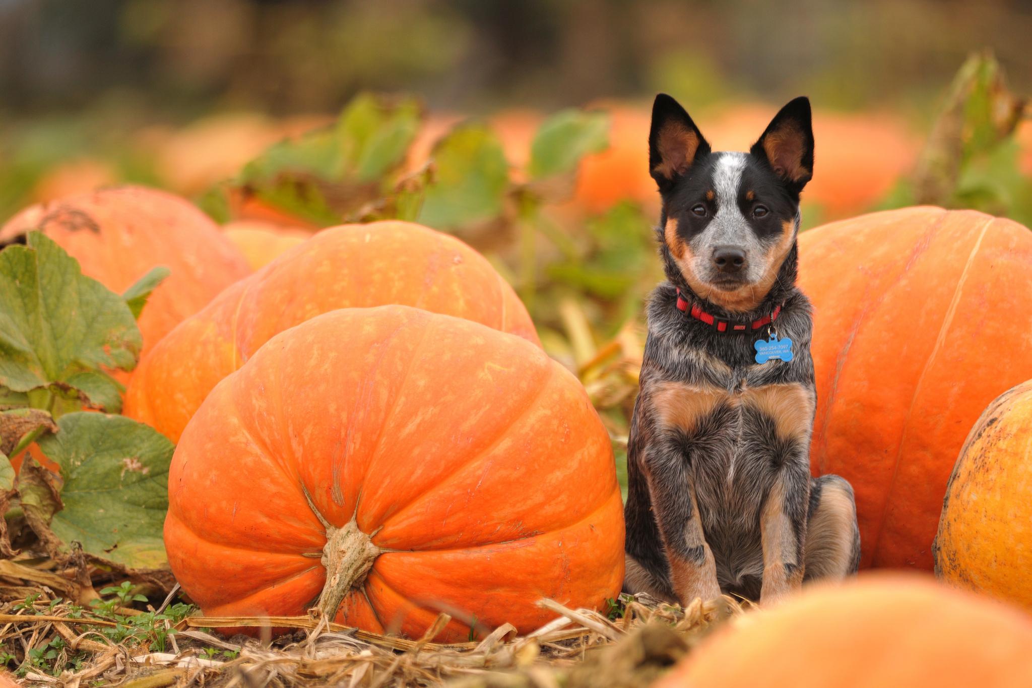 Dogs Pumpkin Autumn Halloween Wallpaper