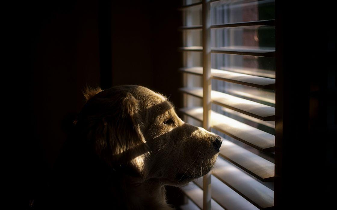 Dogs Retriever Window mood wallpaper