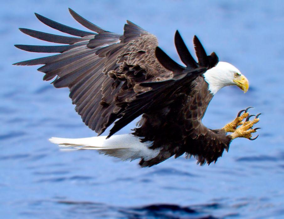 eagle predator bird        g wallpaper