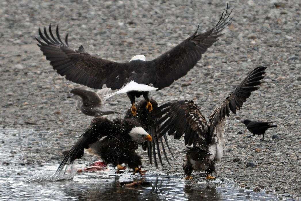 eagle predator bird battle           f wallpaper