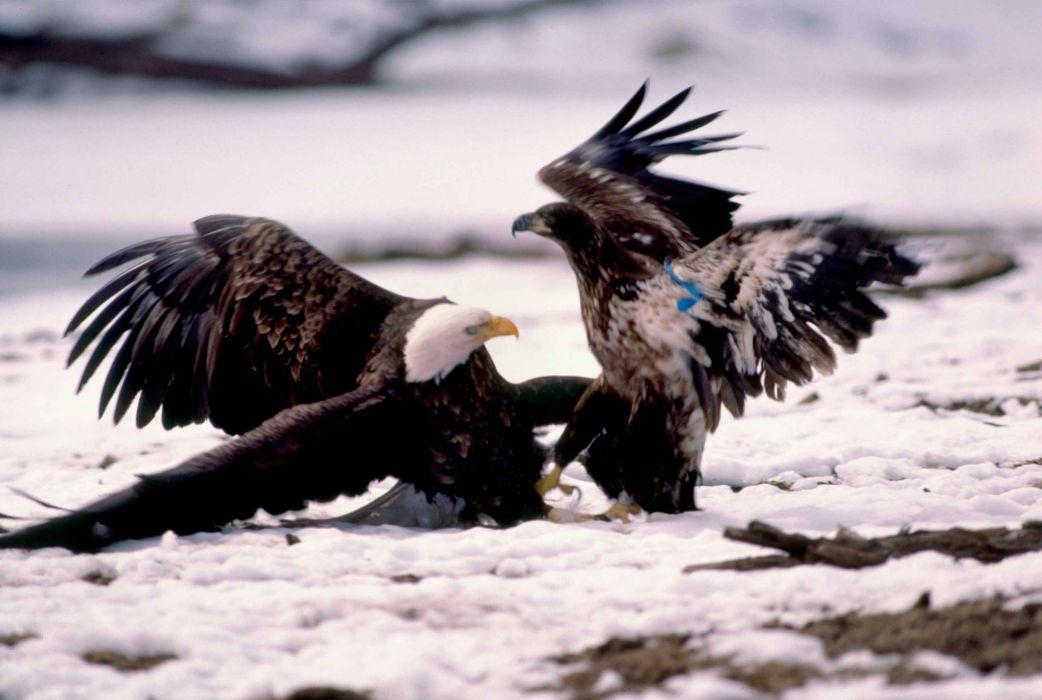 eagle predator bird battle       y wallpaper